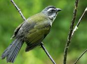 Pepitero verdoso (Saltator similis)