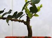 Trabajando Alcornoque Quercus Suber Actualizado, despuntado yemas diseño.
