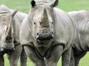 Esos rinocerontes rodean...
