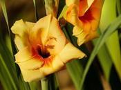 Beneficios para salud gladiolo