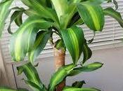 Dracenas, bonita planta para interiores