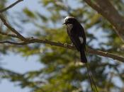 Yetapá negro (Long-tailed Tyrant) Colonia colonus