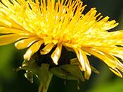 Cultivar flores comestibles