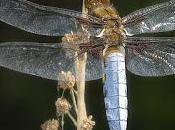Libellula depressa (Linnaeus, 1758) Libélula vientre plano