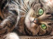 Decimos Todo Sobre Gatos Atigrados. Descubre Raza Pertenecen