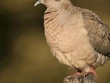 Torcaza común (Eared dove) Zenaida auriculata
