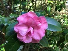 Ruta Camelia: jardín Saleta otoño, noviembre 2016. Camellia Route: Saleta's Garden autumn, November, 1-30,