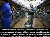ARTÍCULO: COVAP45 cómo explotar vacas máximo posible