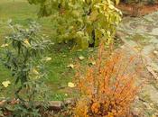 Spiraea Vanhouttei hojas otoño