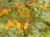 belleza allá rosas: Hojas otoño, escaramujos...cobijo alimento para fauna!!