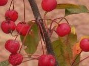 Manzanos ornamentales (manzanas cangrejo manzanas silvestres) comida para pájaros jalea nosotros