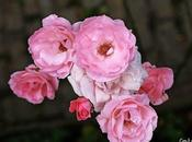 puniceo rosas