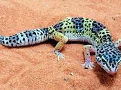 Gecko Leopardo réptil exótico
