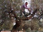 olivo quería bello como flor almendro