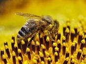 Abejas girasol bees sunflower.