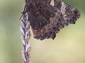 Aglais urticae (Small tortoiseshell)