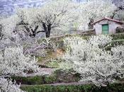 Primavera Cerezo Flor 2017. Valle Jerte