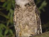 Ñacurutú (Great Horned Owl) Bubo virginianus
