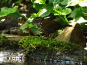 Macuquito (Sharp-tailed Streamcreeper) Lochmias nematura