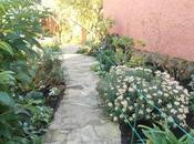 Cómo poda Ajania pacifica (Crisantemo Pacífico)