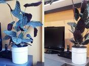 Planta maranta, pequeña planta tropical