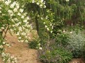 arbusto desaliñado falta poda. Rejuvenecer Artemisia arborescens