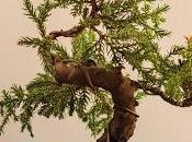 Modelando Juniperus Procumbens Nana renovación sustrato poda raíces