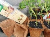 Trasplante provisional planteles antes plantar bancales huerto