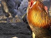 raza única mundo: Gallos pluma León.
