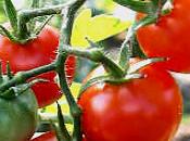 Crema tomate