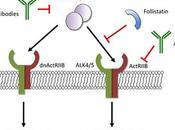 Objetivo: Comprender mejor señalizadores promueven desarrollo muscular
