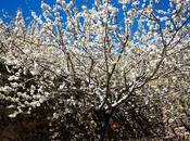 Valle Jerte floración. Tornavacas mirador