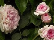Rosa 'James Galway'. elegancia.