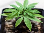 marihuana puede aliviar enfermedades hepáticas