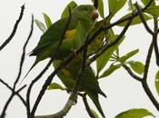 Catita chirirí (Yellow-chevroned Parakeet) Brotogeris chiriri
