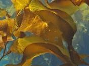 Kelp: algas muchas propiedades