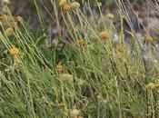 Botón (Gaillardia megapotamica)