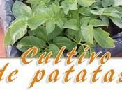 Cómo cultivar patatas maceto huerto