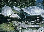Phrynops hilarii…Tortuga Laguna…