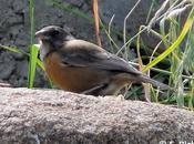 PORTFOLIO: Phrygilus punensis... Chali