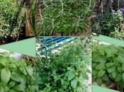 Salvia Mejorana. Plantas aromáticas medicinales parte
