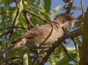 Fauna alavesa :curruca mirlona