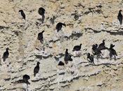 Anidación cormoranes cuello negro