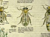 Posters: Clasificación, labores anatomía abejas ingles Classification, work anatomy bees english.