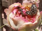 Oxythyrea funesta (Escarabajo sudario) otra plaga rosas.