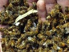 Experimentos confirman insecticidas nocivos para abejas.