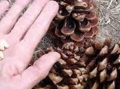 Soñar piñones: ¿Qué simboliza oníricamente este fruto seco?