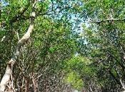 silenciosa labor manglares