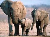 Justicia animal: cazador argentino aplastado elefante