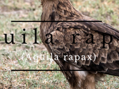 Aguila rapaz